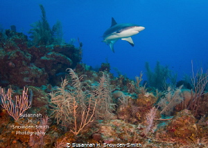 """On Patrol"" - A Caribbean reef shark sweeps in for a clos... by Susannah H. Snowden-Smith"